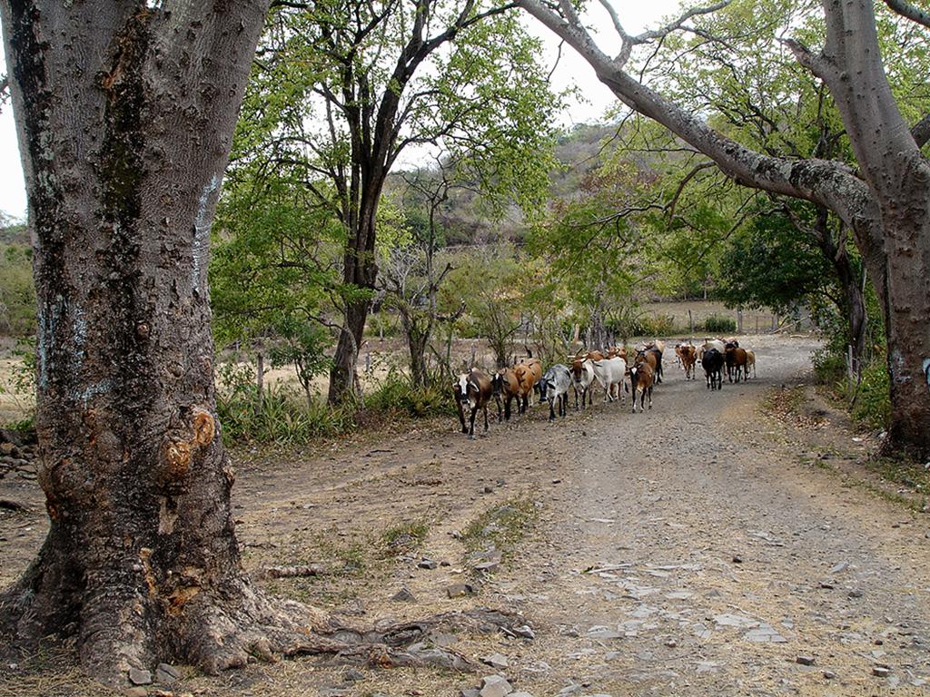 Nicaragua: Estelí und El Cañón de Somoto: Rinderherde